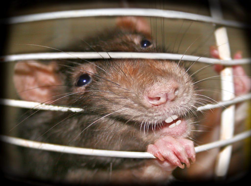 les rats sont une nuisance